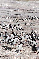 Adult and baby Gentoo Penguins share common ground on the sandy beaches of Saunders Island.  falkland Islands,