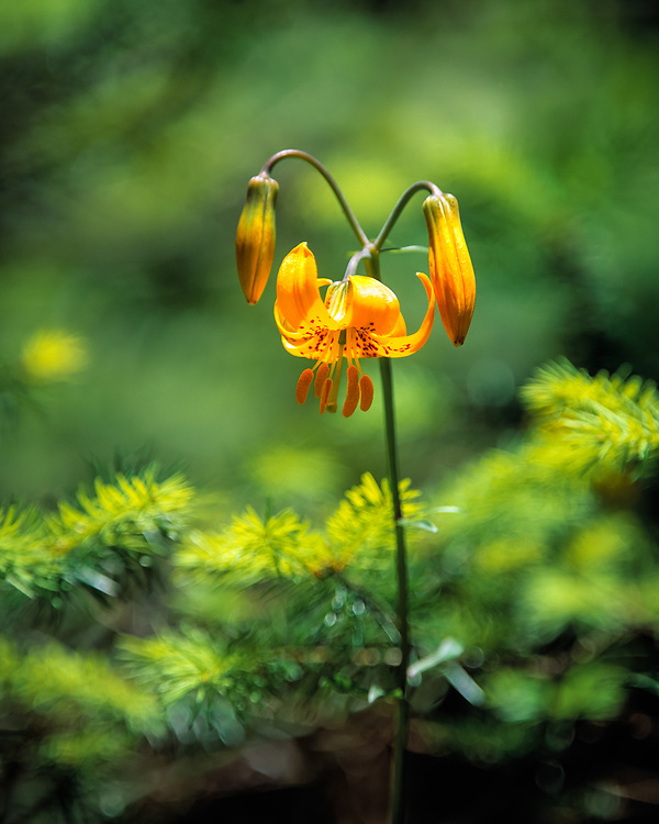 Leopard lilies like this are found in wet mountain meadows in northern California.