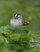 This striking little bird  - a golden crowned kinglet - first came down from the forest canopy to dine at my bird feeders during deep freeze that took hold over Christmas 2017.  Golden Crowned Kinglets are the smallest bird to over-winter in Maine and are about the size of a thumb.