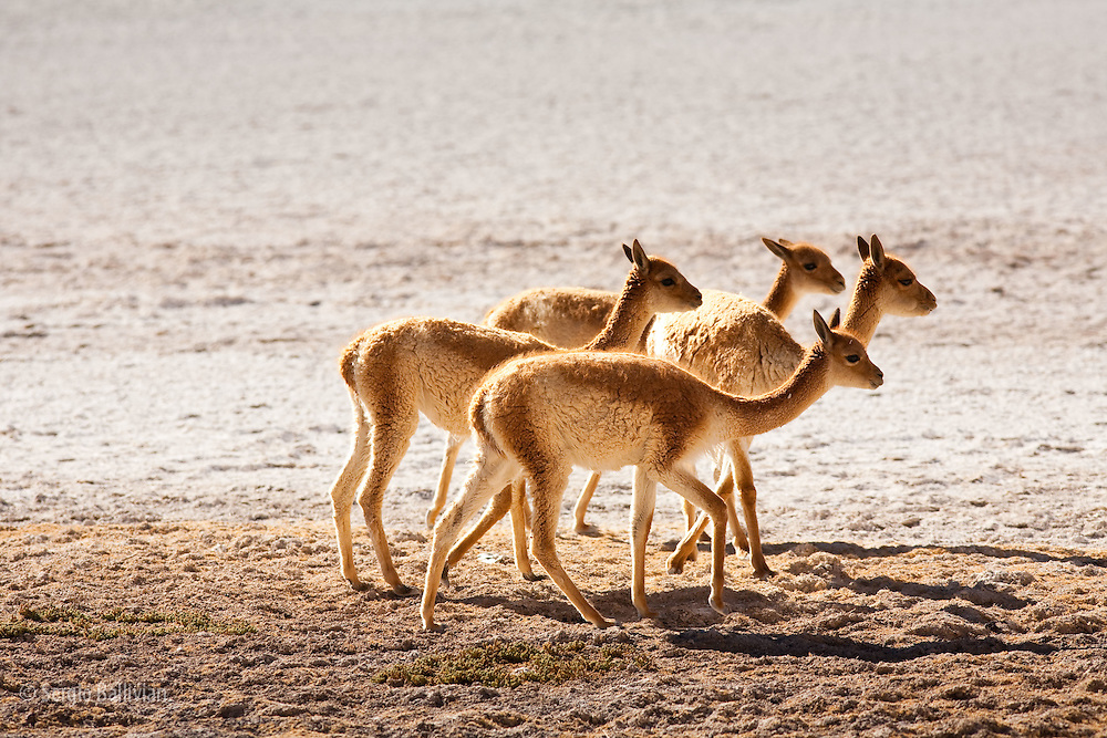 A small herd of Vicunas (vicugna vicugna) walk to  graze in the high-altitude desert of southwestern Bolivia's Sud Lipez region.  These animals have the highest quality of fur of any animal in the world.  Their fine wool was prized by the Inca rulers that no one but they were allowed to wear it.  Vicunas were a protected animal hundreds of years ago and are beginning to come back from the edge of extinction across  the Andes.