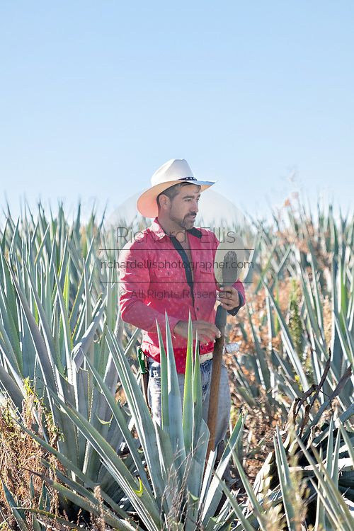 A jimador sharpens his coa, a knife like spade used to cut the spears off blue agave plants during harvest in a field owned by the Siete Leguas tequila distillery in the Jalisco Highlands of Mexico. Siete Leguas is a family owned distillery crafting the finest tequila using the traditional process unchanged since for 65-years.