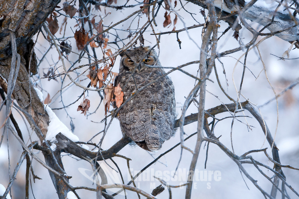 A Great Horned Owl resting in a stand of cottonwood trees along a small creek in the South Fork canyon area in Nothern Utah winter 2016.