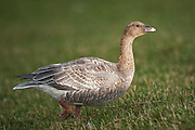 The Pink-footed Goose (Anser brachyrhynchus) breeds in Iceland, eastern Greenland, and Svalbard. It is migratory, wintering in northwest Europe. The name is often abbreviated in colloquial usage to Pinkfoot.