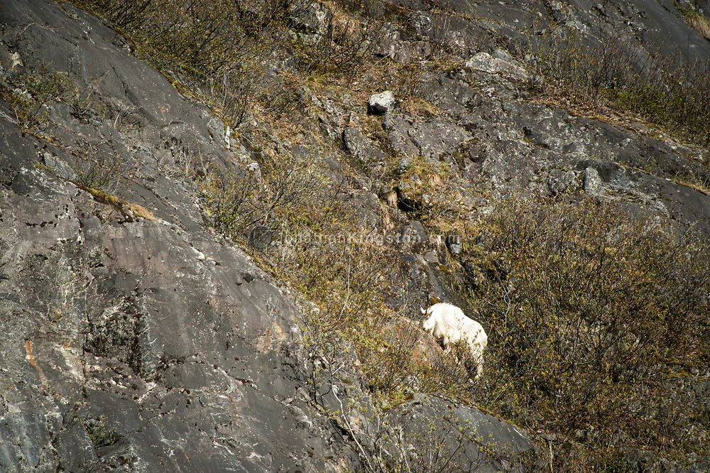 A mountain goat (Oreamnos americanus) on the side of a cliff in Alaska.