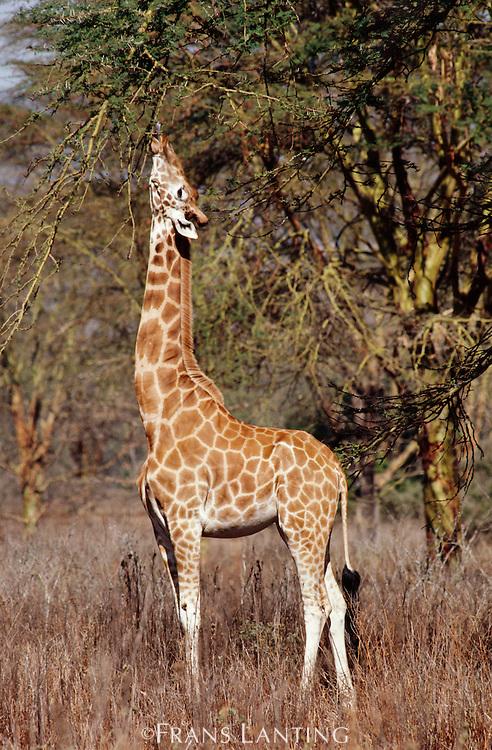 Reticulated giraffe feeding on acacia tree, Giraffa camelopardalis reticulata, Lake Nakuru National Park, Kenya