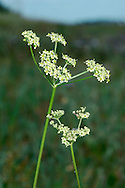 PEPPER-SAXIFRAGE Silaum silaus (Apiaceae) Height to 1m<br /> Slender, hairless perennial with solid, ridged stems. Found in meadows on damp, heavy soils. FLOWERS are yellowish and borne in long-stalked umbels, 2-6cm across (Jul-Sep). FRUITS are egg-shaped and ridged. LEAVES are 2- to 4-pinnate with narrow, pointed leaflets. STATUS-Locally common in England but scarce or absent elsewhere.