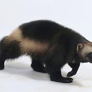 Wolverine on a white background. Captive Animal