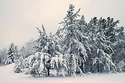 Snowfall in boreal forest<br />