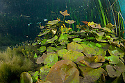 Water Lily (Nymphaea gardneriana) on the bottom of a jungle stream in Mato Grosso do Sul, Brazil