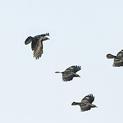 Five American Crows in flight against a pale blue sky