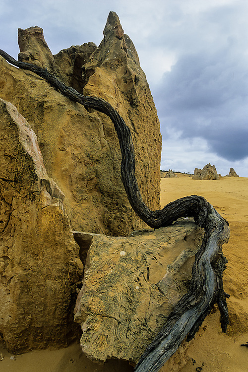 Like a wooden snake, a branch twists its way through one of the mysterious rock formations in the Pinnacles Desert