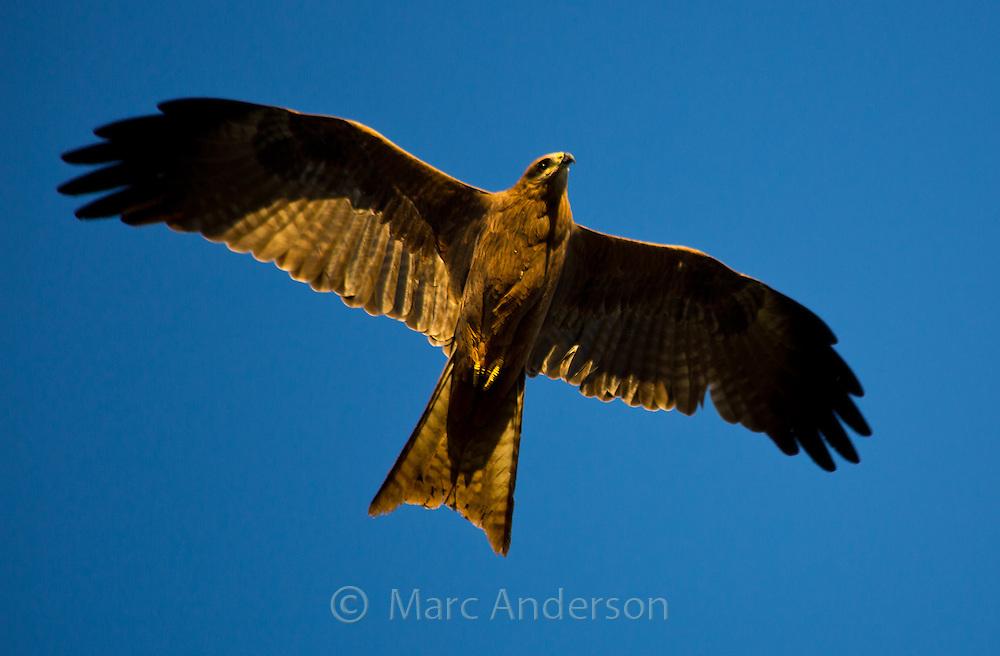 Black Kite (Milvus migrans) in flight, Queensland, Australia
