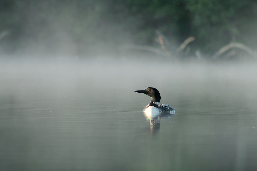Loon at dawn on a lake in Minocqua, WI