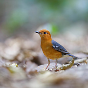 The orange-headed thrush (Geokichla citrina) is a bird in the thrush family.<br /> It is found in well-wooded areas of the Thailand's primary forests.