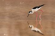 Black-necked Stilt<br /> Himantopus himantopus<br /> Floreana Island, GALAPAGOS ISLANDS. ECUADOR.  South America