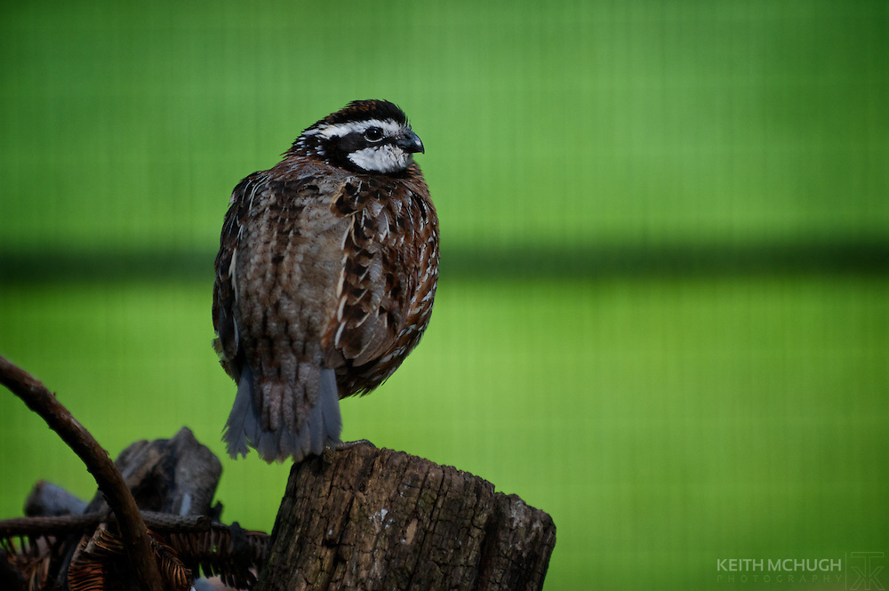 Northern bobwhite quail perched on a rotting log.