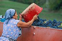 Italie, Toscane, Province de Florence, region du Chianti, Vendanges, Vin // Italy, Tuscany, grape harvest in Chianti