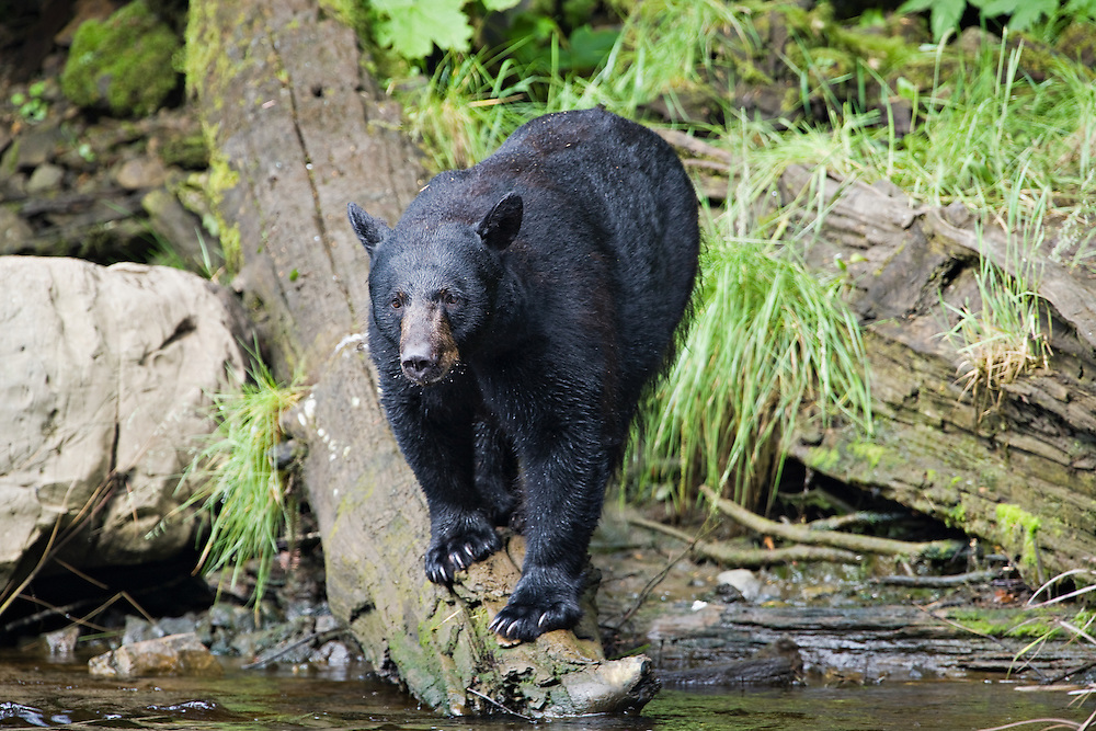 Black Bear on log besides Gunnuk Creek near Kake on Kupreanof Island in Southeast Alaska. Inside Passage. Summer. Morning.