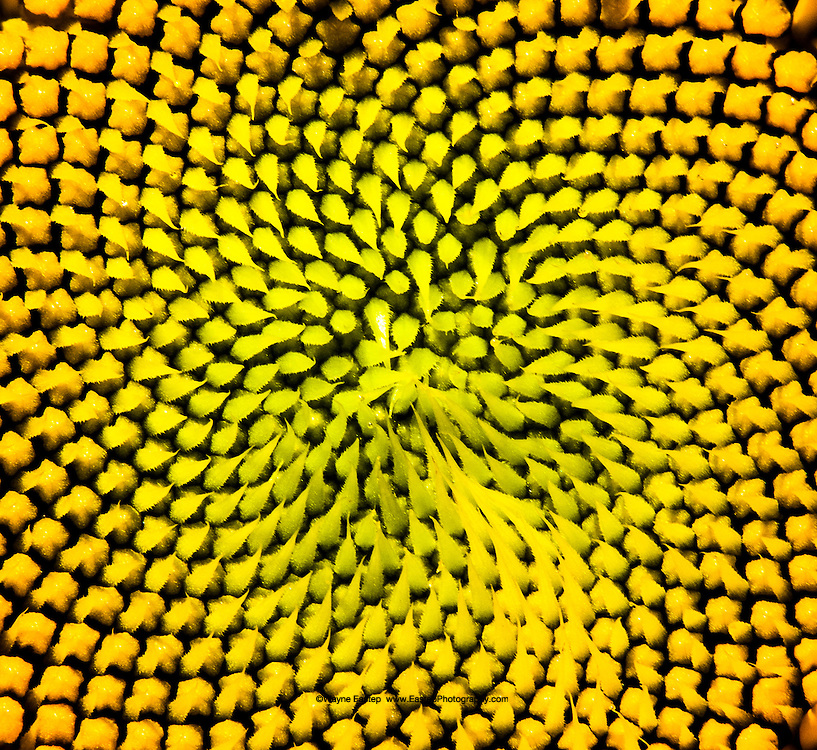 Example of Fibonacci in nature, center of a sunflower