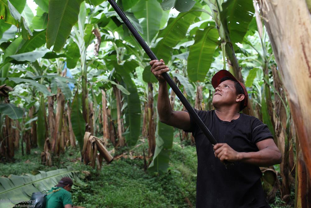 Eliseo Fernández, member of COOBANA, checks a banana cluster for maturity before harvesting it. COOBANA: Finca 51, Changuinola, Bocas del Toro, Panamá. September 3, 2012.