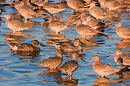 A norther shoveler pair swim slowly through a large group of marbled godwit