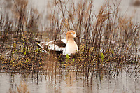 An American Avocet sits on its nest that is alongside a pond in a depression on the ground during a rainstorm.