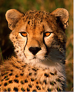 Young cheetah, about 12 mos old, Serengeti National Park, Tanzania.