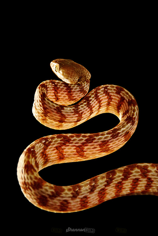 Banded or Northern Brown Tree Snake (Boiga irregularis) also known as a Night-tiger.  Night Tiger's are an arboreal, nocturnal, colubrid snake native to eastern and northern coastal Australia, Papua New Guinea, and a large number of islands in northwestern Melanesia.  Mildly venomous.