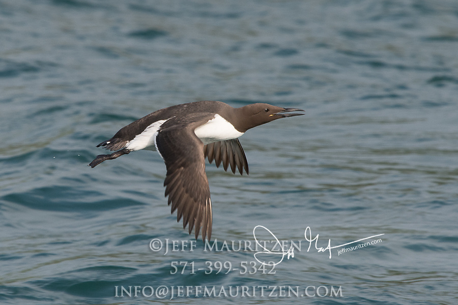 A Guillemot in flight low over the waters that surround Skomer Island, Wales, U.K.