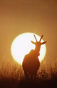 Sun, Hartebeest, African wildlife, Kenya, Maasai Mara National Park