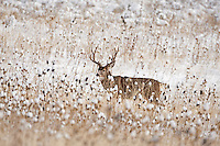 With the first snows in the valley and the rut still ongoing some of the best places to view Mule Deer are in the farmers fields that are at lower elevations this Image was taken in the last days of November 2016 in the Ogden Valley Utah.