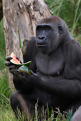 © licensed to London News Pictures. London, UK 07/06/2013. Gorillas of London Zoo being fed watermelons as summer treat in Regents Park on Friday, 7 June 2013. Photo credit: Tolga Akmen/LNP