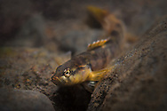 Fantail Darter<br />