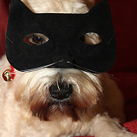 Soft Coated Wheaten Terrier in a cat disguise
