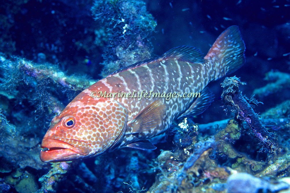 Tiger Grouper inhabit reefs in Tropical West Atlantic; picture taken Grand Cayman.