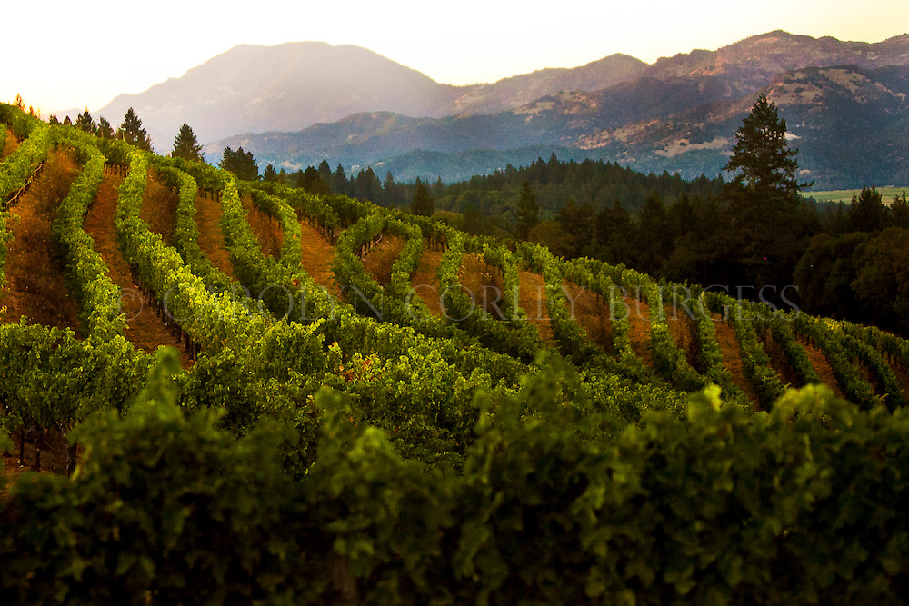 sunset view of Mount Saint Helena from Spring Mountain vineyard. Saint Helena, California. Napa Valley. Terra Valentine. Wurtele Vineyard.