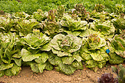 Frank Morton's Lettuce trials at Wild Garden Seed farm.