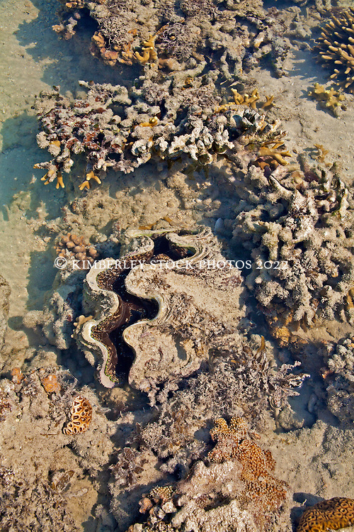 A giant clam (Tridacna sp.) on a shallow sandbank at the northern end of Augustus Island.