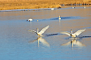Trumpeter Swans coming in for a landing on Flat Creek on the National Elk Refuge in Jackson Hole Wyoming