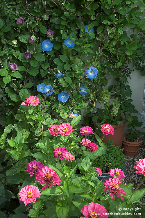 Zinnias, morning glory and cobaea in the greenhouse