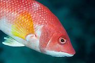 Bodianus flavipinnis (Foxfish)
