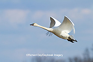 00759-00316 Tundra Swan (Cygnus columbianus) in flight at Prairie Ridge State Natural Area, Marion Co., IL
