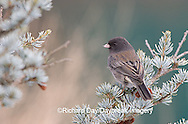 01569-01303 Dark-eyed Junco (Junco hyemalis) in spruce tree in winter Marion Co. IL