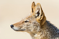 Black-backed Jackal Kgalagadi Tranfrontier Park, Northern Cape, South Africa
