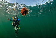 A diver warily watches a large lion's mane jellyfish (Cyanea capillata) drift past. Isle of Arran, West Scotland.