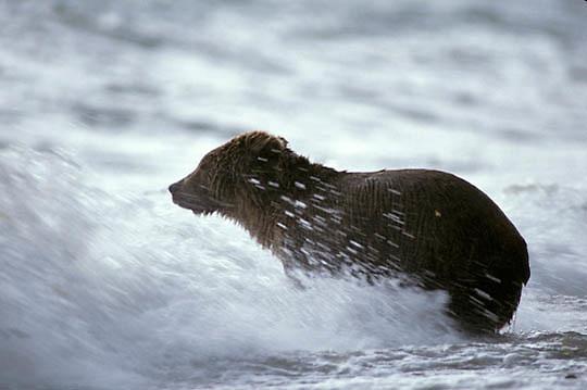 Alaskan Brown Bear, (Ursus middendorffi) Crashing waves batter bear fishing for salmon.
