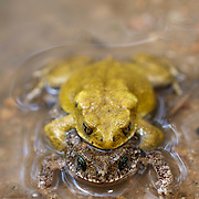 Bufo macrotis ,commonly known as the big-eared toad, mating in Huai Kha Kaeng Wildlife sanctuary, Thailand. Normally brown the males turn yellow during the mating season and the females retain their normal colouration. The congregate in small forest pools and streams to communally mate.