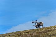 Wildlife photographs of from Denali National Park of The Alaska Range, AK