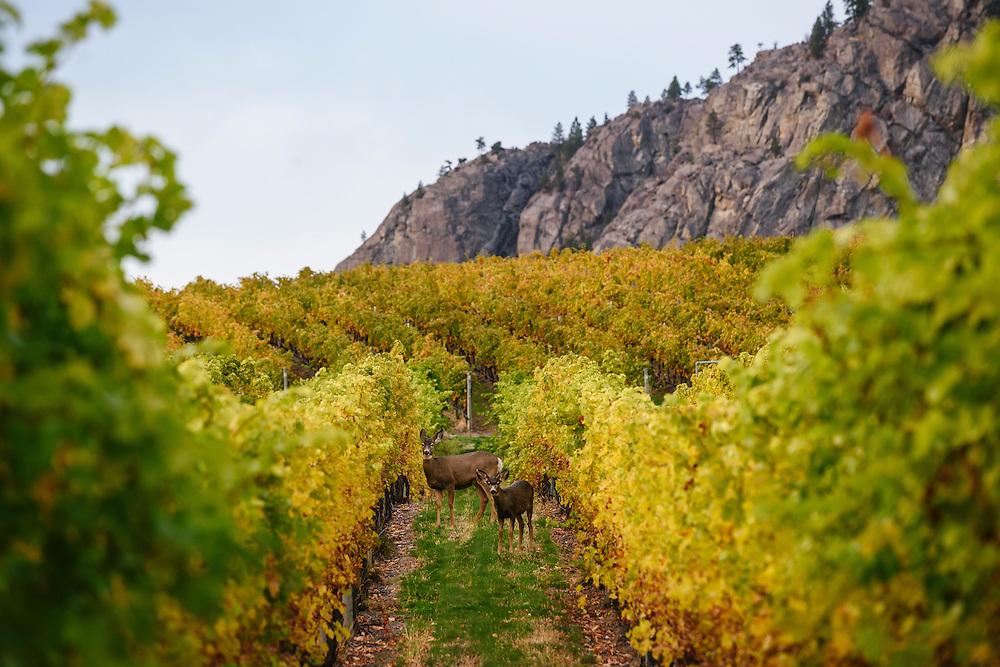 Deer in the vines, Osoyoos BC