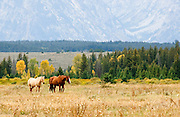 Horses walking in a field near Jackson Hole, Wyoming. Missoula Photographer